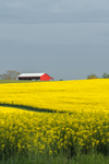 Early Morning Light Shines on Red Barn and Canola Field in Full Bloom in Spring, Piedmont Region, Davie County, Mocksville, NC