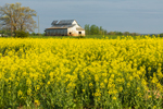 Early Morning Light Shines on Old White Barn and Canola Field in Full Bloom in Spring, Piedmont Region, Davie County, Mocksville, NC