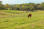 Horse Grazing in Pasture in Early Spring at the Thoroughbred Training Center, Village of Cana, Mocksville, NC