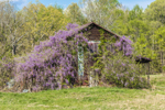Old Weathered Wooden Barn Covered with Wisteria in Full Bloom in Spring, Piedmont Region, Pittsylvania County, near Villages of Markham and Java, VA