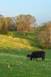 Cows Grazing in Pastures in Early Evening Light in Spring, Piedmont Regioin, Albemarle County, Scottsville, VA