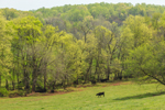 Cows Grazing in Green Pastures in Spring, Piedmont Region, Orange County, Rapidan, VA