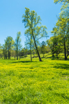 Buttercups and Trees in Rolling Farmlands in Spring, Piedmont Region, Jackson County, Pendergrass, GA
