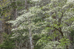 Flowering Dogwood Trees in Bloom in Spring at Table Rock State Park, Pickens County, Pickens, SC