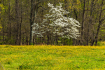 Dogwood Tree in Full Bloom at Edge of Field of Buttercups in Spring, Piedmont Region, Nelson County, Norwood, VA