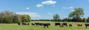 Cattle Grazing in Pasture in Early Spring, Georgia Piedmont Region, Elbert County, Elberton, GA
