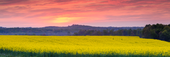 Spectacular Sunrise over Canola Fields in Full Bloom in Spring, Piedmont Region, Davie County, Mocksville, NC