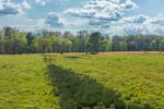 Cattle Grazing in Pastures in Spring, Piedmont Region, Pittsylvania County, Village of Markham, Gretna, VA