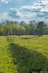 Cattle Grazing in Pastures in Spring, Piedmont Region, Pittsylvania County, Village of Markham, Gretna, VA