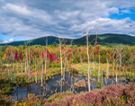 Beaver Pond and Lodge in the Taconic Mountains in Fall, Town of North East, NY