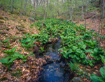 Skunk Cabbage and False Hellebore along Small Stream in Early Spring, Devil's Hopyard State Park, East Haddam, CT