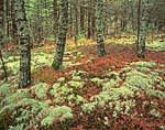 Reindeer Lichen and White Pine Forest