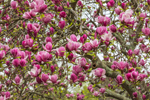 Close Up of Magnolia Tree Blossoms in Spring, Mystic, CT