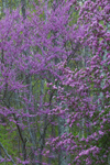 Redbud Tree and Flowering Cherry Tree in Full Bloom in Spring, Canterbury, CT