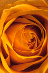 Close Up of Orange Rose in Mother's Day Bouquet, Athol, MA