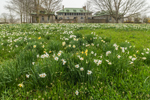 Daffodils in Bloom at Harkness Memorial State Park, National Register of Historic Places, Waterford, CT