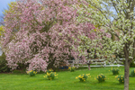 Flowering Cherry Tree, Magnolia Tree, and Daffodils in Bloom in Spring, Waterford, CT