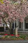 Tulips and Magnolia Tree in Bloom in Front of Residence, Mystic, CT