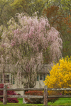 Weeping Cherry and Red Maple Trees and Forsythia Bush in Bloom along Split-rail Fence in Spring, Brooklyn, CT