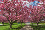 Walkway through Flowering Cherry Trees in Spring at Groton Town Hall, Groton, CT