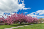 Flowering Cherry Trees at University of Connecticut at Avery Point, Groton, CT