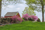 Red Barn with Azaleas in Bloom along Stone Wall in Spring, Canterbury, CT