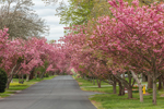 Flowering Cherry Trees along Country Road in Early Spring, Groton, CT