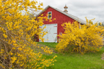 Red Barn with Forsythia in Full Bloom in Spring, Pioneer Valley, Ashfield, MA