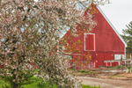 Red Barn and Apple Tree in Bloom in Spring, Peterborough, NH
