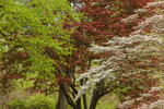 Colorful Foliage of American Linden, Japanese Red Maple and Flowering Dogwood Trees in Spring, Sunderland, MA