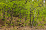 Beech Forest in Spring, Harris Center for Conservation Education, Peterborough, NH