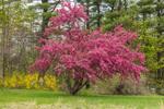Flowering Crab Apple Tree in Spring, Peterborough, NH