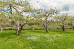 Apple Orchard in Bloom in Spring, New Salem, MA