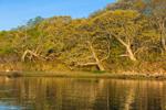 Early Morning Light Shines on Oak Trees along Shoreline of Goats Neck on Naushon Island at Hadley Harbor, Elizabeth Islands, Town of Gosnold, MA