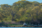 Woodlands in Spring along Shoreline at West Harbor, Fishers Island, Southold, NY