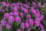 Catawba Rhododendron Flowers in Full Bloom, Mystic, CT