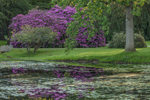 Rhododendrons Reflecting in Small Pond with Spadderdocks in Spring, Mystic, CT