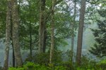Woodlands along Millers River in Early Morning Fog, Bearsden Conservation Area, Athol, MA