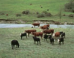 Hereford Cattle Grazing in Pasture along the Green River