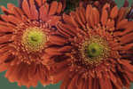 Close Up of Red Gerbera Daisies in a Floral Bouquet, Athol, MA