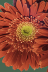 Close Up of a Red Gerbera Daisy in a Floral Bouquet, Athol, MA