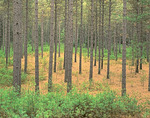 Red Pines with White Pine Seedlings, Quabbin Reservation