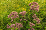 Joe-Pye Weed in Field of Grasses, New Salem, MA