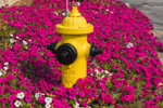 Pink Petunias Surround Yellow Fire Hydrant, Townsend, MA