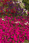 Colorful Petunias in Country Garden, Townsend, MA