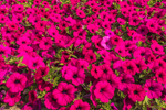 Close-up of Pink Petunias in Country Garden, Townsend, MA