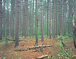 Red Pine Forest, Otter River State Forest
