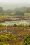Colorful Wetlands in Fog at Peckham Pond, Block Island, RI