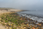 Seaweed-covered Rocks along Beach at Cow Cove in Fog, Block Island, RI