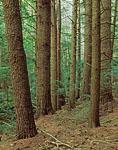 Hemlock and White Pine, Rutland Brook Wildlife Sanctuary